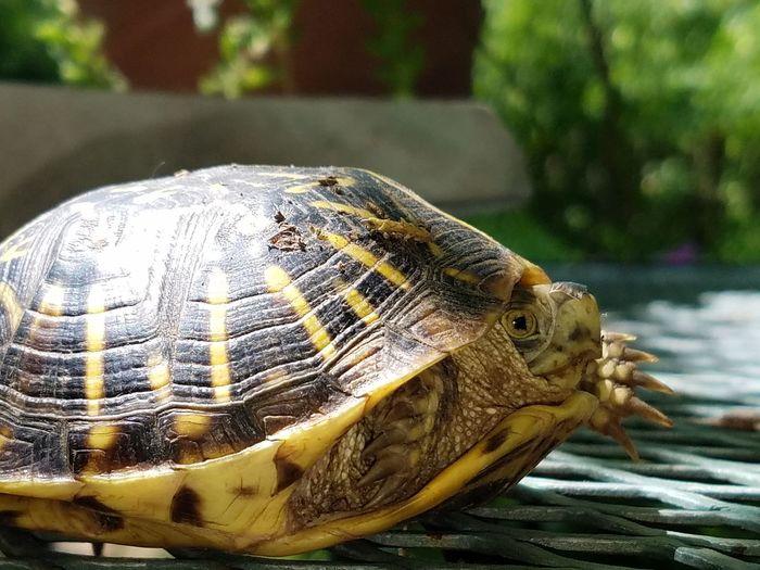 Cheese! Animals turtle found in kingman Kansas Taking Photos Turtle