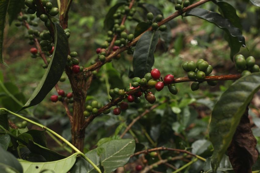 Coffee Coffeeplant Coffee Beans Fruit Food And Drink Leaf Nature No People Outdoors Plant Close-up Colombian