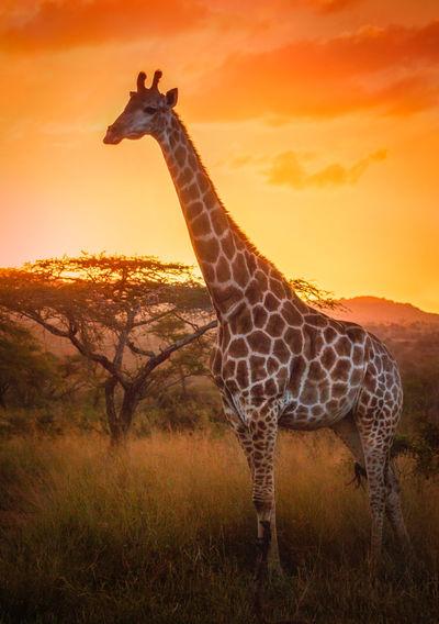 Side View Of Giraffe Against Orange Sky