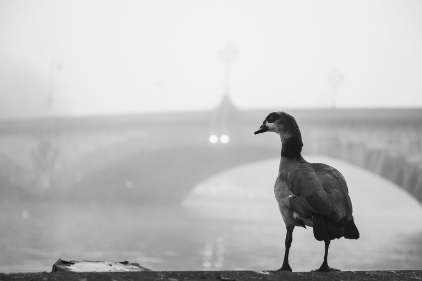 Animal Themes Architecture Beauty In Nature Bird Bridge Blackandwhite Day Focus On Foreground Fog Foggy Foggy Day Goose Kew Bridge London Nature No People One Animal Outdoors Perching River Thames Thames River Urban And Nature Water Water Bird Adapted To The City Adapted To The City
