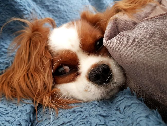 My sweet little princess just woke from a nap Puppy Love Puppy❤ Home Relaxing Model Models Modeling Model Pose Modelgirl Visual Creativity Happy Princess Nap Napping Dogs EyeEm Selects Pets Portrait Dog Looking At Camera Lying Down Close-up Cavalier King Charles Spaniel Lap Dog Puppy Canine At Home