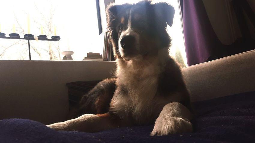Hanging Out Light And Shadow Australian Shepherd  Dogslife Couchlife