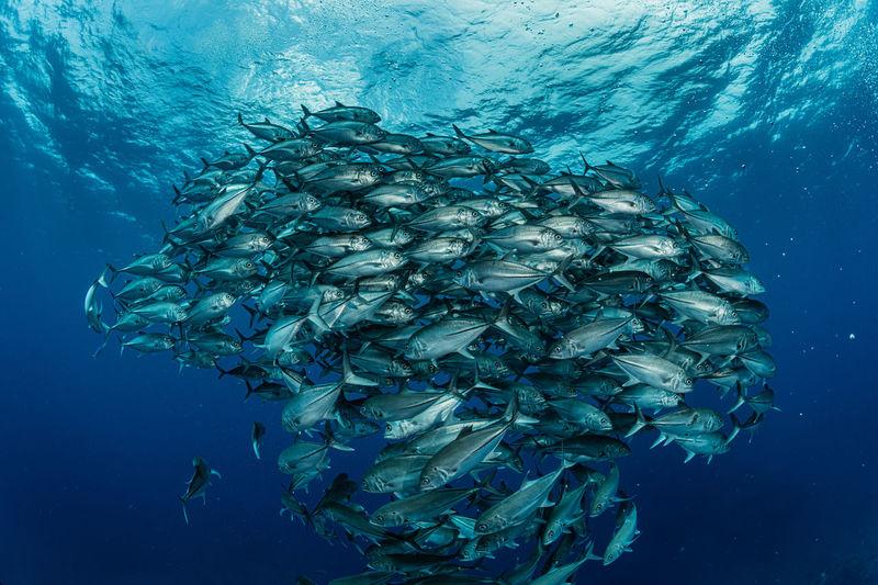 School of bigeye trevally, underwater photography
