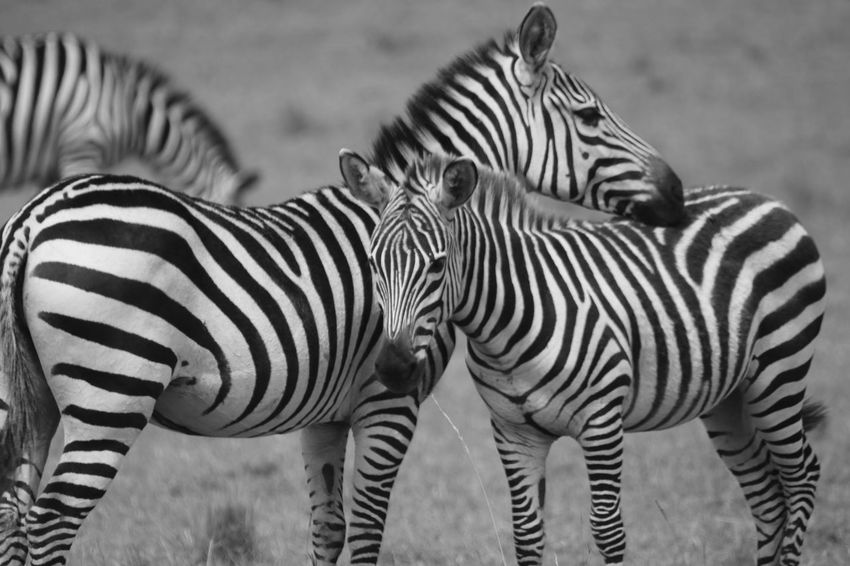 Zebras Animal Markings Animal Themes Animal Wildlife Animals In The Wild Day Grass Mammal Nature No People Outdoors Safari Animals Standing Striped Togetherness Zebra