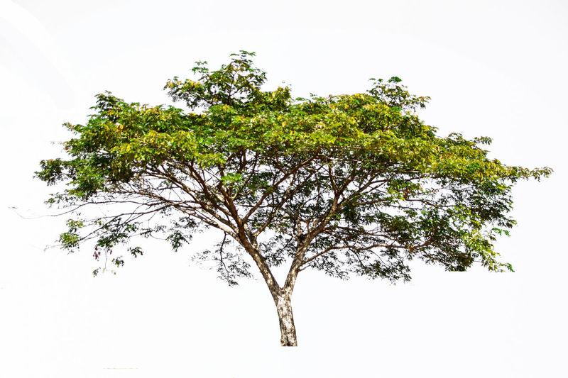 Tree split white background. Arbor Arbour Background Bush Dry Drying Forrest Frases Green Green Leaves Isoletd Leaf Leaves Natur Nature Plant Tree White Wild Wood
