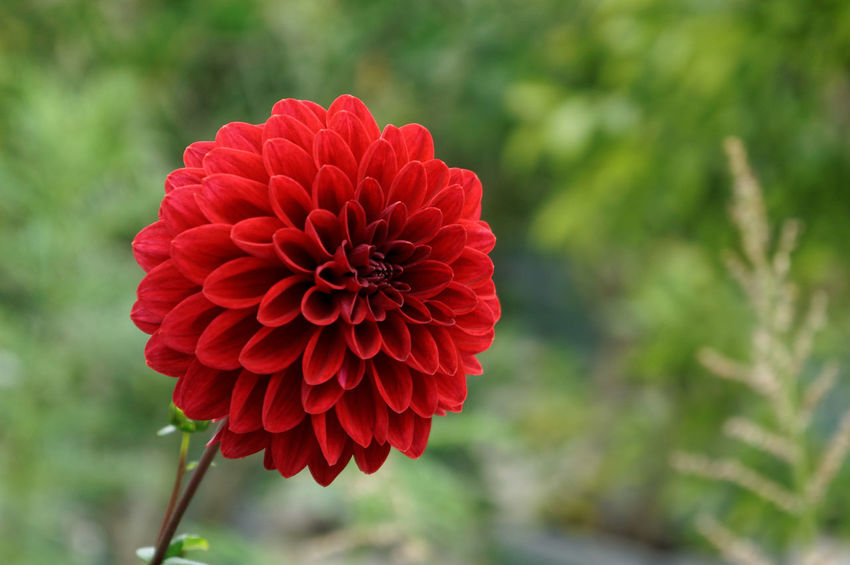 Red Dahlia Bloom Blooming Blossom Dahlia Dahlia Pinnata Decorative Dahlia Flora Flowers Garden Dahlia Green Nature Plant Red Shallow Depth Of Field