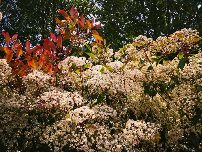 Photinia red Robin in full bloom Red Robin Photinia Red Robin Photinia Photinia Leaf Photinia Blossoms Tree Backgrounds Full Frame Sky Close-up In Bloom Fragility Flower Head Petal Plant Life Leaves Blossom Growing Blooming Stamen Single Flower Single Rose Pollen Botany