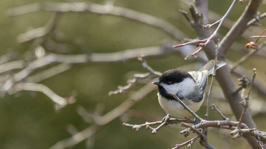 Winter Chickadee Tree Animal Themes Animal Wildlife Animals In The Wild Beauty In Nature Bird Branch Chicadee Close-up Day Nature No People One Animal Outdoors Perching Tree