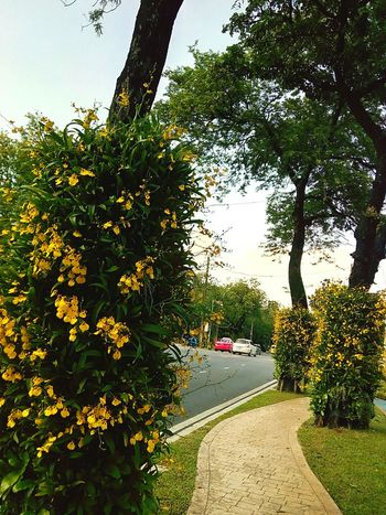 Sideways Sidewalk Along The Way Tree Ornamental Plant Plant On Tree Orchid Orchid Flower Orchid On Tree View Landscape View Photography Landscape Photography Perspective Perspective Photography Nature Nature Photography Car On The Road Orchids Collection Flower On The Tree Flower Collection ใน Dusit, Thailand