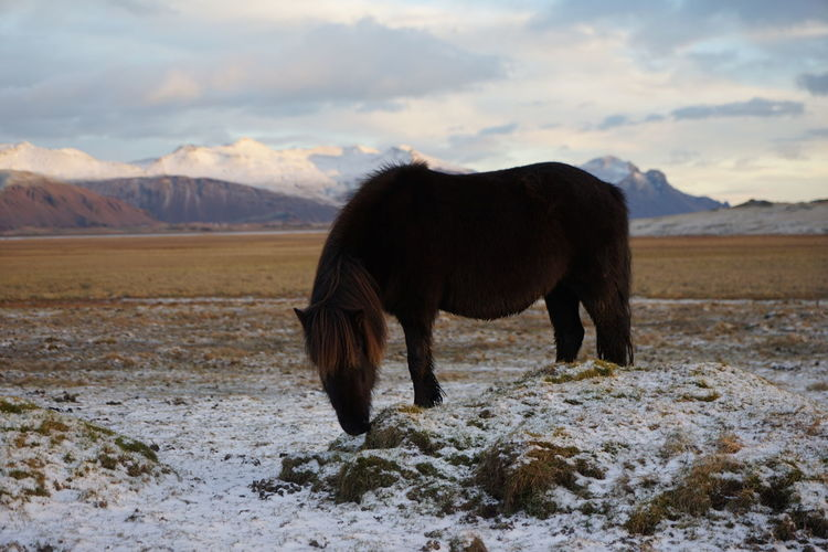 Horse standing on snow field against cloudy sky