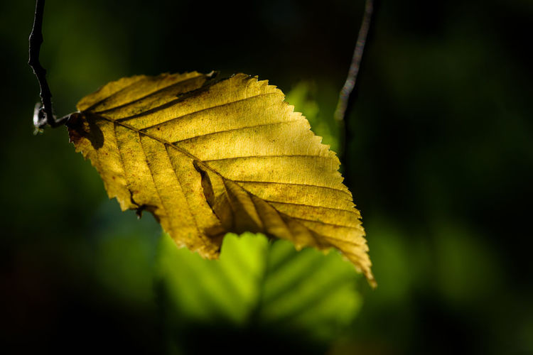 Close up of autumn leave Autumn Leafs Autumn Beauty In Nature Change Close Up Close-up First Eyeem Photo Focus On Foreground Growth Leaf Leaf Vein Macro Natural Condition Natural Pattern Nature No People Outdoors Plant Plant Part Season  Tree Vulnerability  Yellow