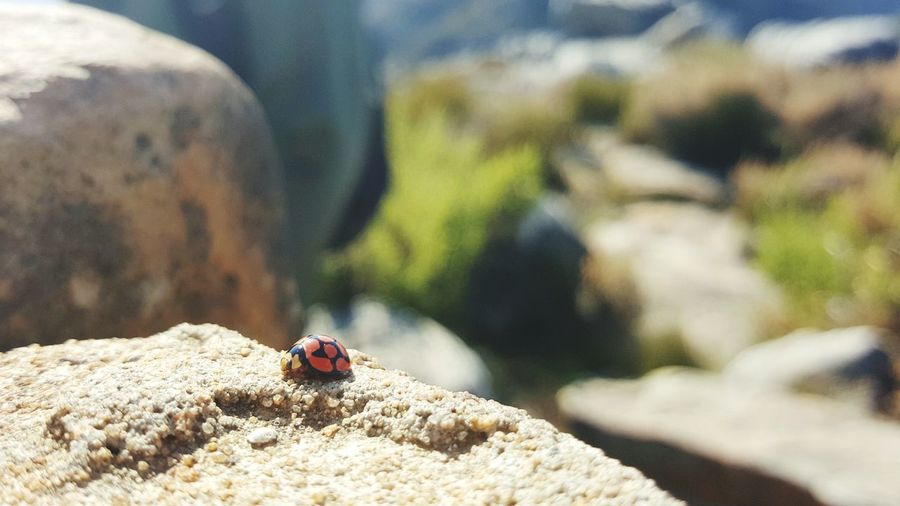 EyeEm Selects One Animal Nature Day Outdoors Mountain Close-up Ladybug🐞