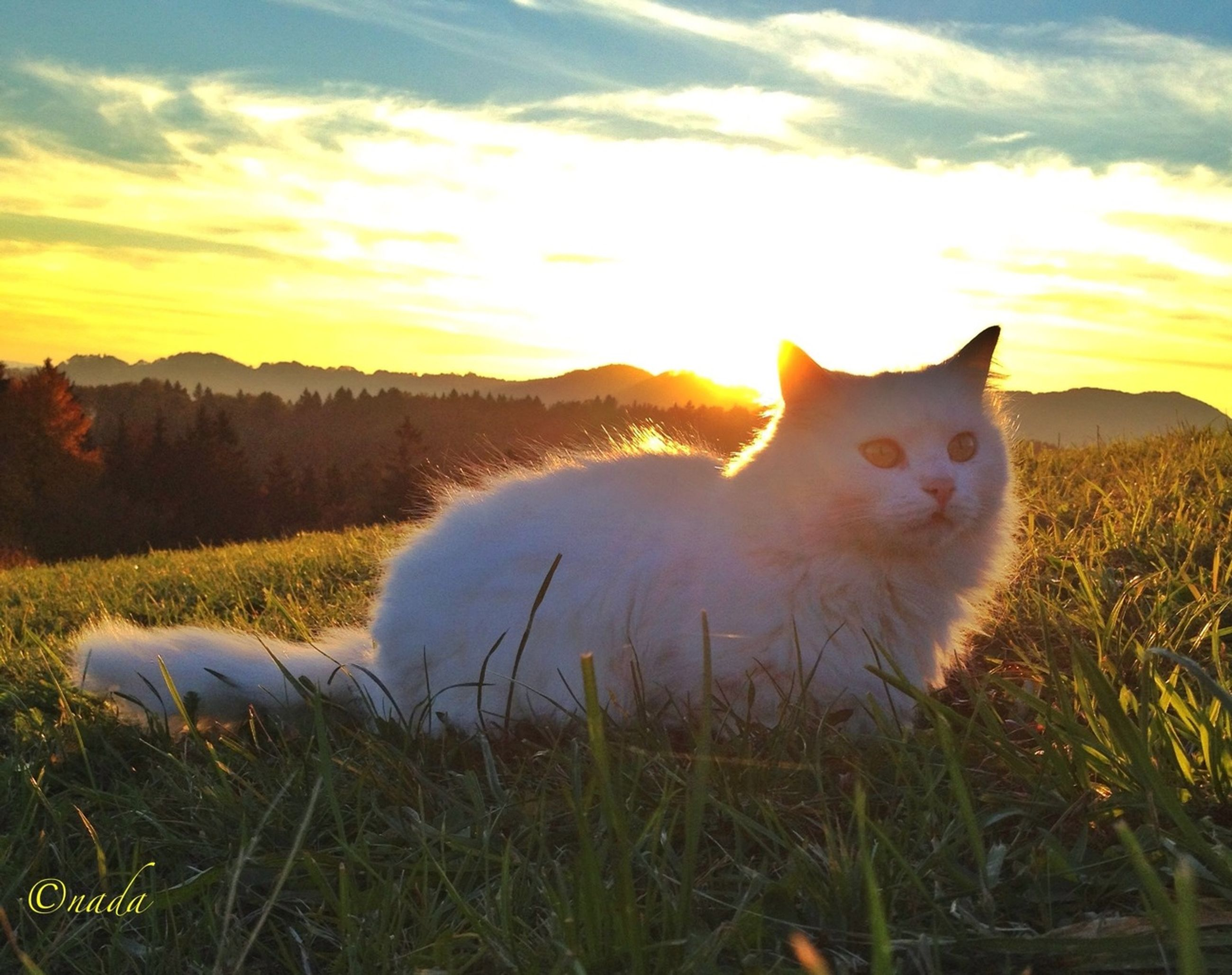 domestic animals, animal themes, mammal, pets, one animal, grass, sky, field, sunset, domestic cat, cloud - sky, grassy, nature, cat, landscape, feline, plant, cloud, beauty in nature, no people