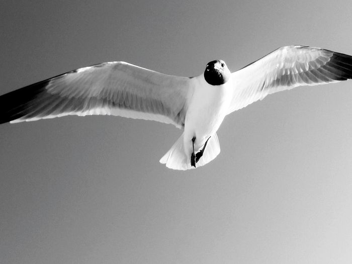Low Angle View Of Black-Headed Gull Flying In Clear Sky