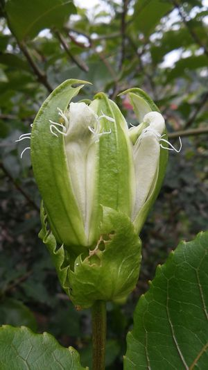 Passion Flowers Passionfruit Maracujá