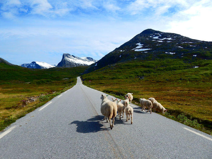 Sheep walking on road during sunny day