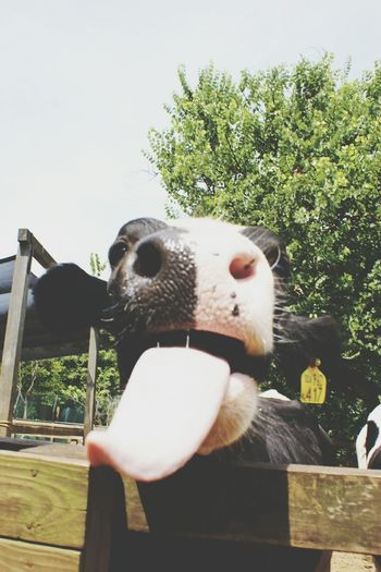 Make Magic Happen Cow Tounge Out  Playing With The Animals Animal Photography Animal FUNNY ANIMALS Service Animals
