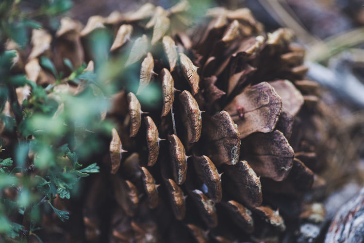 Macro Photography Pine Closeup Forest Nature_collection Pine Cone Woods