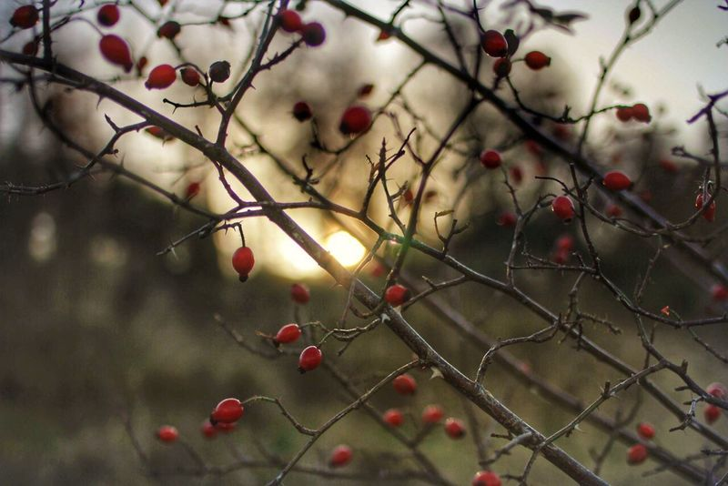 Red wintery berries Hello World Canon Canon60d Canonphotography 35mm Scotland Scottish Highlands Scottish Highlands EyeEm Best Shots EyeEm Nature Lover Walking Lowlightphotography Lowsun Lowwintersun WinterBerry Winter Berries Taking Photos Snapseed