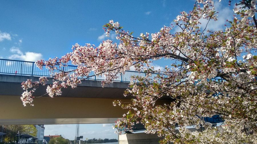 Cherry Graffiti Cherry Blossoms Spring Flowers Spring Springtime Nature Awakening Showcase: April Showcase: April 2016 Frankfurt (Oder) Słubice Brandenburg Moto G2 Untouched Slightly Cropped