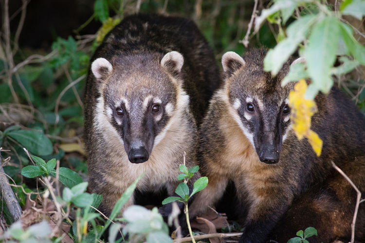 Coati Animal Themes Animal Wildlife Animals In The Wild Close-up Coatis Mammal Nature Portrait