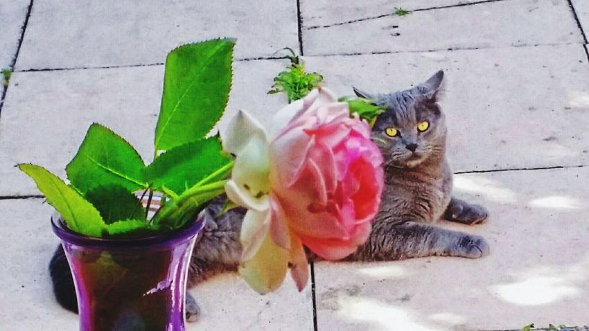 Mon chat Mishka. Cat♡ Mon Chat  Mishka Chartreux