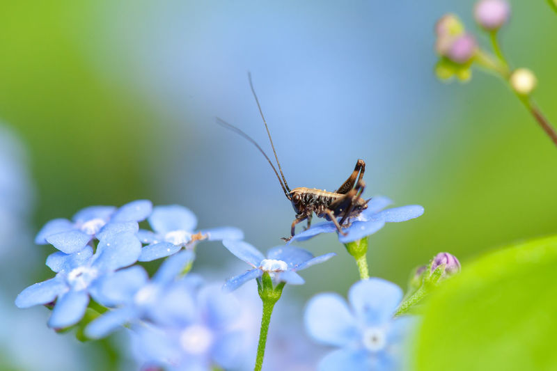 Flower Flowering Plant Insect Animal Wildlife Animals In The Wild Beauty In Nature Plant Nature Close-up Fragility Vulnerability  Grasshopper Springtime Forget Me Not Blue Green One Animal
