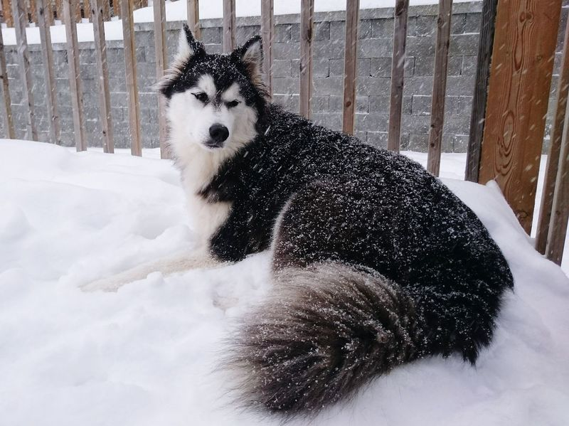 One Animal Dog Winter No People Pets Day Outdoors Cold Temperature Snow Siberian Husky Pet Portraits