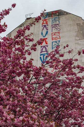 Low angle view of pink flowering tree against building