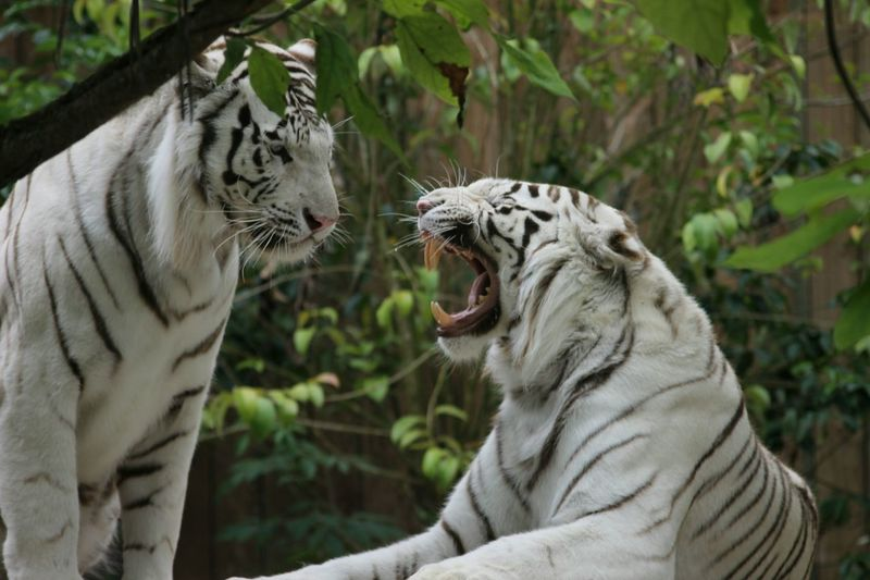 Animals In The Wild Animal Themes Tiger White Tiger Outdoors Feline Beauty In Nature Beautiful Nature Tigers❤ Tiger Love