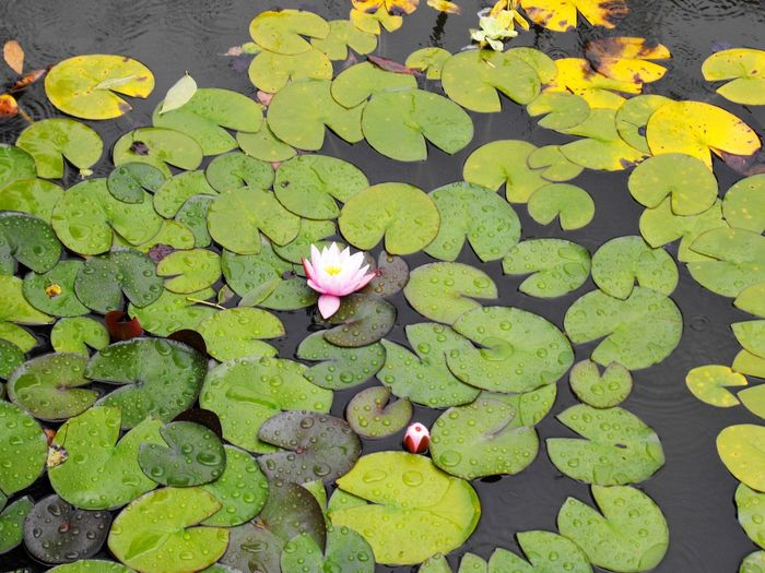 Beauty In Nature Floating On Water Flower Flower Head Fragility Freshness Green Color Growth Lake Leaf Lily Pad Lotus Water Lily Natural Pattern Nature No People Petal Pink Color Plant Pond Trip Photo Water Water Lily