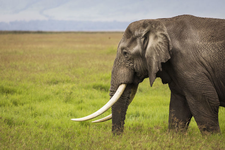 Elephant on a field