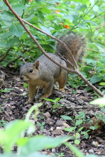 One Animal Animal Wildlife Animals In The Wild Squirrel Animal Themes Nature Eating No People Mammal Day Outdoors Full Length Close-up Beauty In Nature Tree Squirrelwatching Squirrel Photography Squirrel Closeup My Hobby 😁 MyPhotography Photooftheday Photographic Memory Canonphotography Canon_photos
