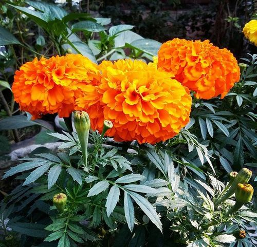 Winter Marigold Flowers 💐.