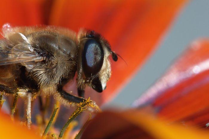 Bee Macro Macro Photography Macro Nature Nature_collection EyeEm Best Shots - Nature EyeEm Best Shots Nature