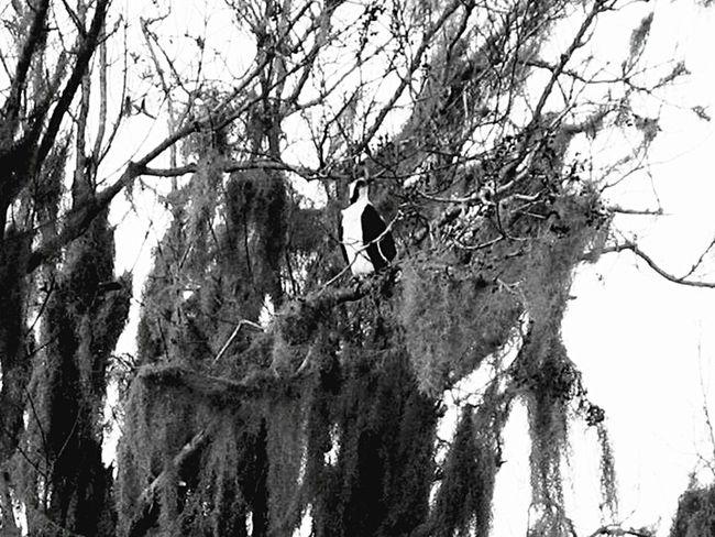 Spanish Moss Travel Florida Kissimmee Scenery Shots Black And White Trees Texture