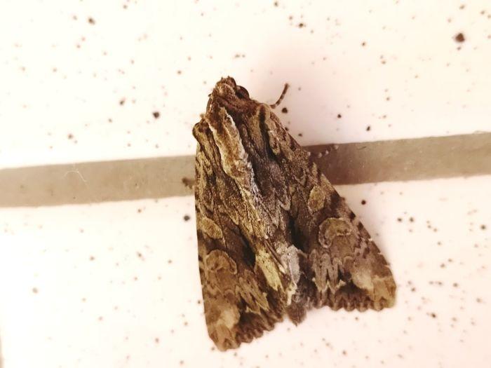 Insekt Falter