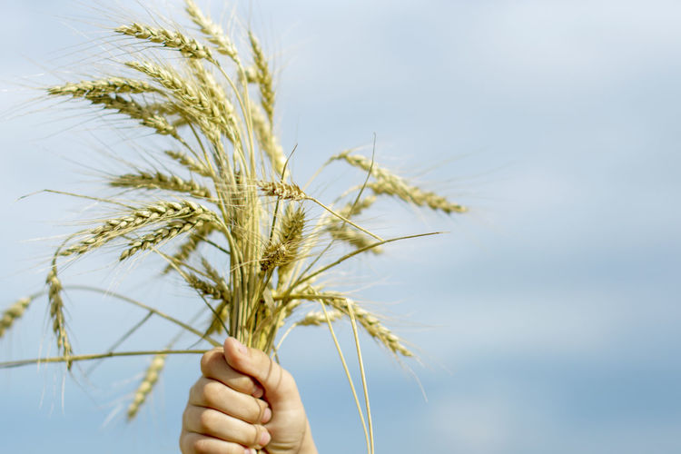 Low angle view of hand holding wheat against sky