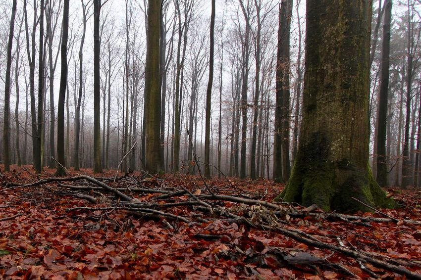 A December Sunday in the woods ... Autumn Beauty In Nature Branch Change Day Forest Landscape Leaf Nature No People Outdoors Scenics Tranquility Tree Tree Trunk Wilderness Area WoodLand