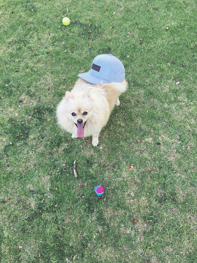 Pet Portraits Animal Themes Day Dog Domestic Animals Field Flower Grass Green Color Growth High Angle View Looking At Camera Mammal Nature No People One Animal Outdoors Pets Pomeranian Portrait