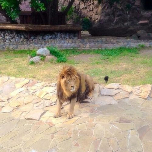 лева хищник милый ???
