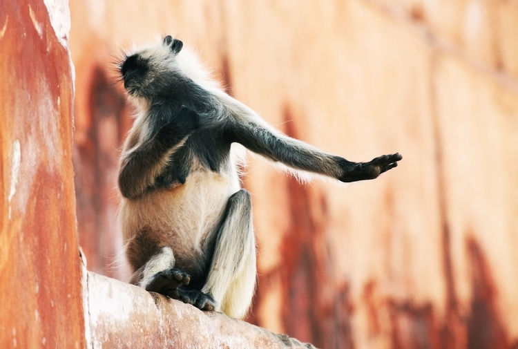 Low angle view of langur sitting on retaining wall