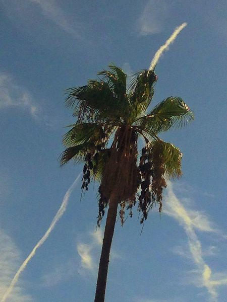 JetStream across a palm tree Beauty In Nature Blue Cloud - Sky Growth Jet Jetstream Low Angle View Nature Palmleaves Palmtree Scenics Sky Tall - High Tranquil Scene Tranquility Tree Tree Trunk