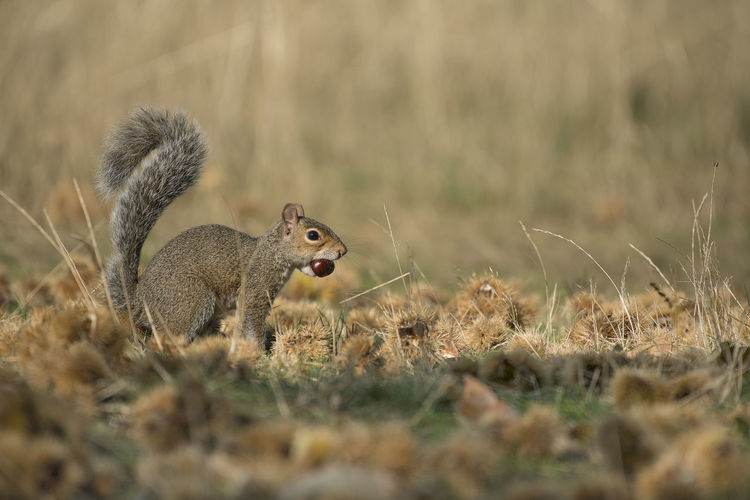 Side view of squirrel on field