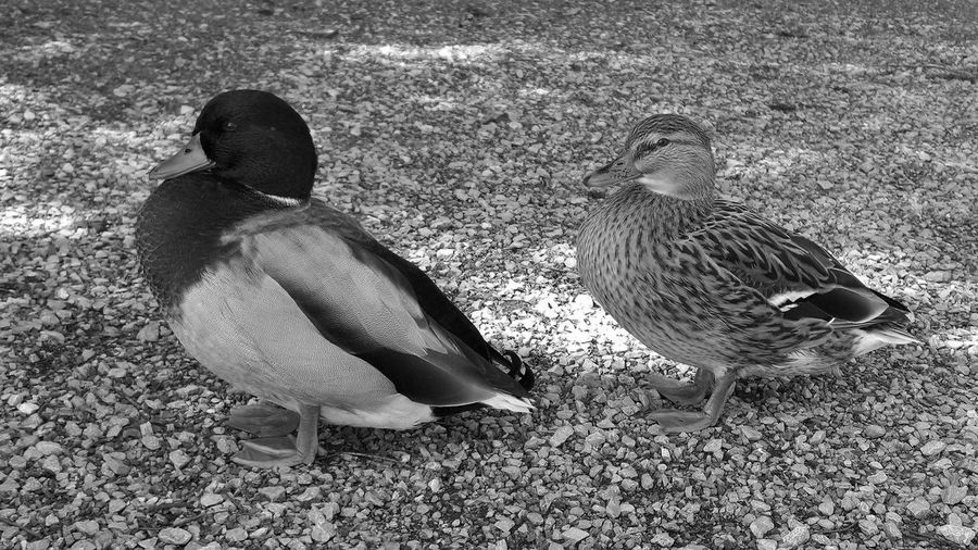 Black & White Animal Themes Animal Wildlife Animals In The Wild Bird Blackandwhite Day Duck Mallard Duck Monochrome monochrome photography Nature No People Outdoors Togetherness