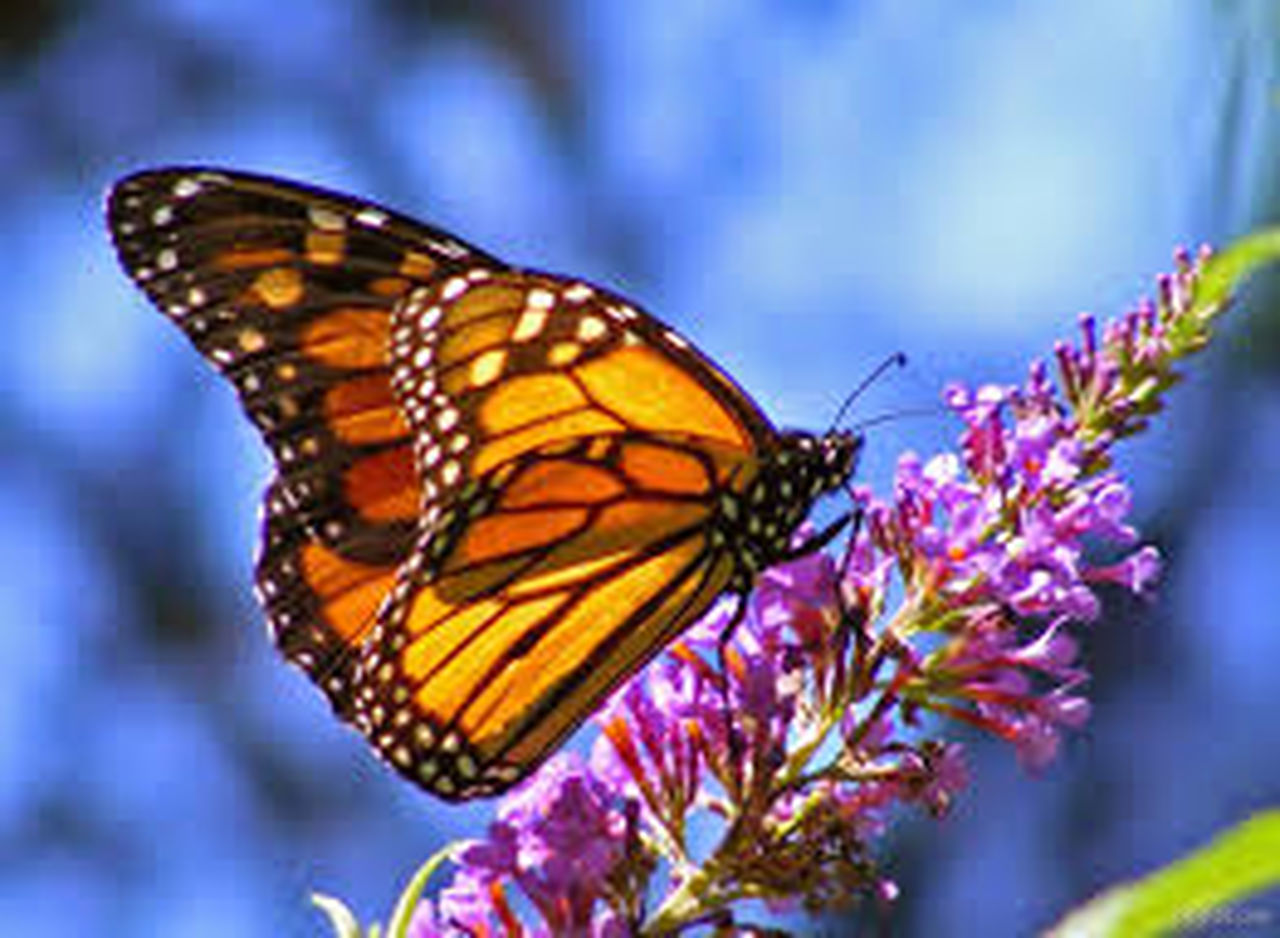 butterfly - insect, insect, one animal, flower, nature, fragility, focus on foreground, no people, close-up, animal themes, freshness, outdoors, plant, multi colored, animals in the wild, day, beauty in nature, pollination, spread wings, flower head