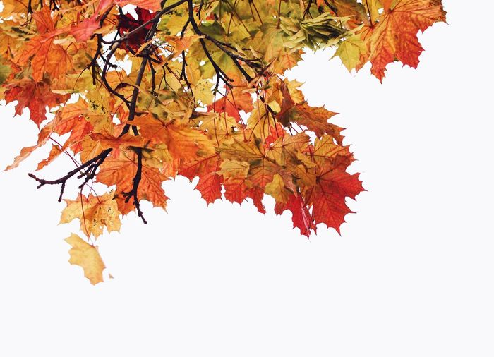 Look up 🙄 Leaf Autumn Change Maple Tree Nature Tree Maple Leaf Branch Orange Color Beauty In Nature Scenics Maple Vibrant Color Beauty Multi Colored Lush Foliage Yellow Outdoors White Background Arts Culture And Entertainment Silhouette Silouette & Sky