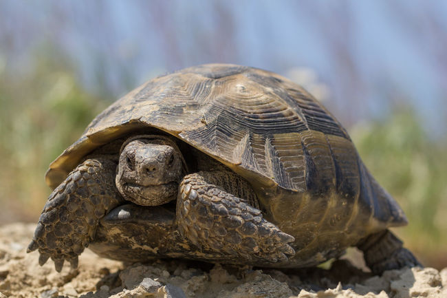 BIG Life Animal Shell Animal Themes Animal Wildlife Animals In The Wild Close-up Fauna Large Nature Outdoors Reptile Slow Spur Tortoise Turtle