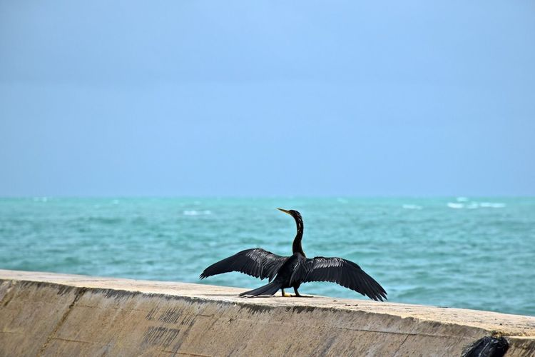 Cormorant spread wings while perching on retaining wall by sea against clear blue sky