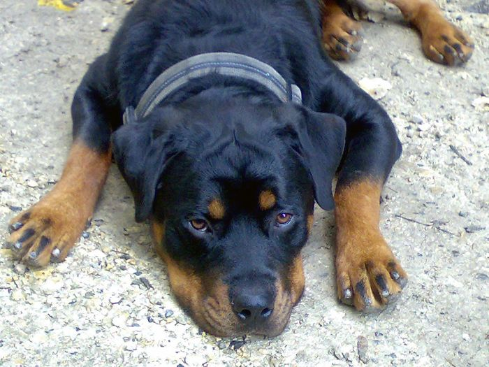 Busty Dogs Rottweiler Animals Hunde Tiere Baden-Württemberg